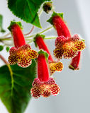 Red-yellow Kohleria flowers Royalty Free Stock Images