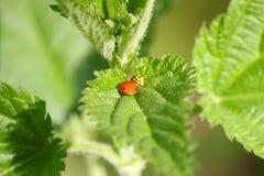 Red and yellow ladybug Stock Photos