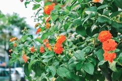 Red and yellow Lantana or Weeping Lantana or White Sage or Cloth of gold royalty free stock photo