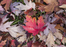 Red and yellow leaf, Fall Season Royalty Free Stock Image