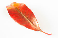 Red and yellow leaf on white background. A red and yellow leaf from the evergreen tree Photinia robusta isolated against a white background Stock Photo