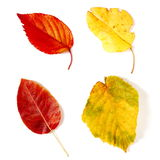 Red and yellow leaves Royalty Free Stock Image