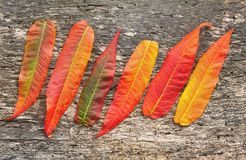 Red and yellow leaves Royalty Free Stock Images