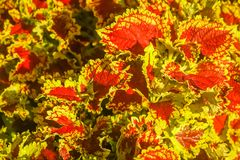 Red and yellow leaves of Argentinian plant Royalty Free Stock Photography