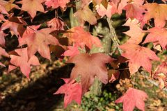 Red and yellow leaves in autumn. Close up Stock Photo