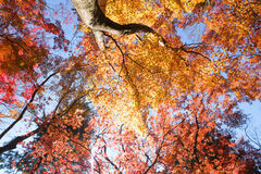 Red and yellow leaves autumn. Look up point of view with sun light Stock Image