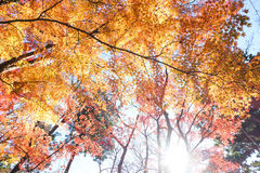 Red and yellow leaves autumn. Look up point of view with sun light Stock Photos