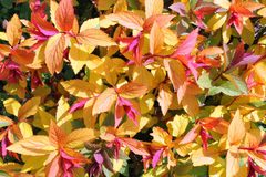 Red and yellow leaves close up for a background. Stock Photos