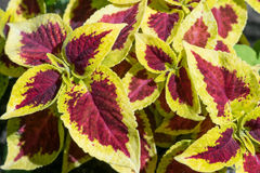Red-yellow leaves of the Coleus Blum. An ornamental plant with b. Eautiful leaves. The shape and edges of the leaves resemble nettles. The leaves are variegated Stock Photos
