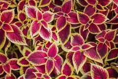 Red and yellow leaves of coleus top view for background. royalty free stock photography