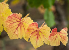 Red and yellow leaves in the fall vineyard Royalty Free Stock Image