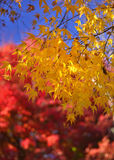 Red and yellow leaves at Japanese garden, Kyoto Japan. Colorful leaves of maple tree in a Japanese garden, a seasonal scene of Kyoto, Japan autumn Royalty Free Stock Photos