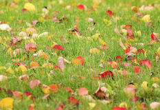 Red and yellow leaves lie on the green lawn. In autumn Park Royalty Free Stock Images