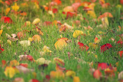 Red and yellow leaves lie on the green lawn. In autumn Park Stock Image
