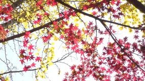 Red and yellow leaves. Red maple leaves and yellow ginko leaves in late autumn stock footage