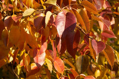 Red and yellow leaves of pear tree Stock Image