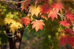 Red, yellow leaves and the sunshine. Royalty Free Stock Image