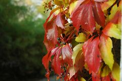 Red and yellow leaves of wild wine Stock Image