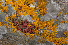 Red and yellow lichen on a rock. Red and yellow lichen growing on a granite rock background Stock Photography