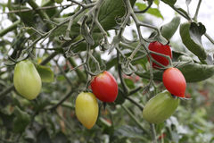 Red, yellow, light green tomato Stock Images