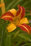 Red-yellow lily Stock Photo
