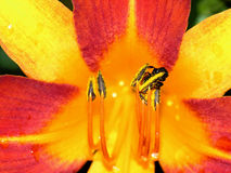 Red and yellow lily with a bee Royalty Free Stock Image