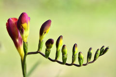 Red Yellow lily buds. A close up of a group of red lily buds whit a green background Royalty Free Stock Images