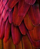 Red/Yellow Macaw Feathers Royalty Free Stock Photo