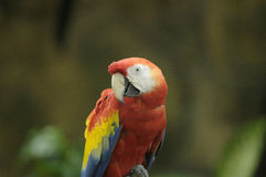Red and Yellow Macaw Stock Images