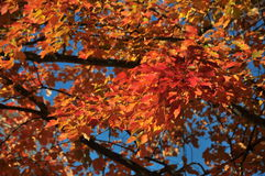 Red yellow maple in autumn sun under blue sky. Foliage, autumn, colors, blue, sky, red, yellow, black, maple, tree, branches Stock Photography