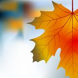 Red yellow maple autumnal background Stock Images