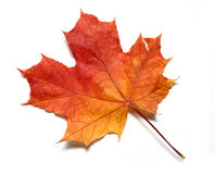 Red yellow maple leaf. Autumn maple leaf turned red orange and yellow stock image