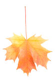 Red-yellow Maple Leaf Stock Photos