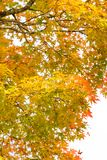 Red and yellow maple leaf background. Fall season environment Stock Images