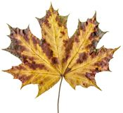 Red-yellow maple leaf Stock Image