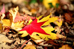 Red and yellow maple leaf on dry leaves Stock Images