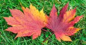 Red and Yellow Maple Leaf Stock Images
