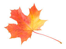 Red-yellow maple leaf isolated on white Royalty Free Stock Photos