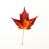 Red and Yellow Maple Leaf Isolated on White Stock Photo