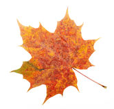 Red, yellow maple leaf Royalty Free Stock Images