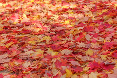 Red and Yellow Maple Leaves Stock Images
