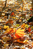 Red and yellow maple leaves in leaf litter Royalty Free Stock Photography