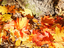 Red and yellow maple leaves near tree Royalty Free Stock Image