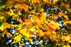 Red and yellow maple leaves. Tsaritsyno Park, Moscow, Russia Royalty Free Stock Photo
