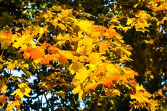 Red and yellow maple leaves. Tsaritsyno Park, Moscow, Russia Stock Photography