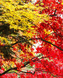 Red and yellow maple tree Royalty Free Stock Images