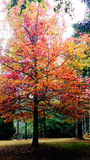 Red Yellow Maple Tree In Autumn @ Mount Wilson, Blue Mountains  Royalty Free Stock Image