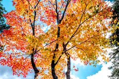 Red and Yellow maple tree autumn sunset, Sun light through color. Maple trees in red and orange gold, pine tree in green leaves ,Maple leaves turn to red in Royalty Free Stock Photography