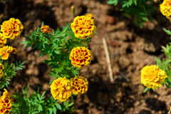 Red and Yellow Marigold Flower. In garden Royalty Free Stock Photo