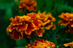 Red and yellow Marigold flower. On a green background Stock Images